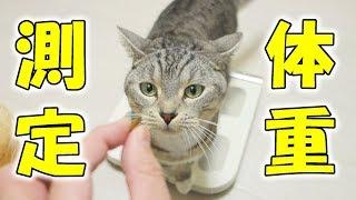 慢性腎不全で体調を壊したサバトラ猫の「すし」の体重の変化を気にして...
