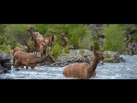 Wallace Stegner Lecture – Greater Yellowstone Migrations Project