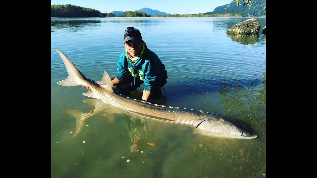 Sturgeon fishing on the fraser river british columbia for Columbia river fish counts