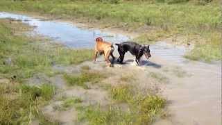 Boxer Dog Max And Doberman Hugo Play