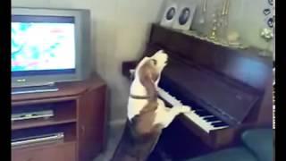 Собака поёт и играет на пианино