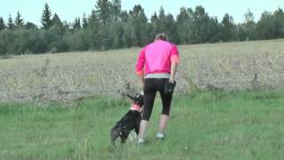 American Staffordshire Terrier - Obedience Training