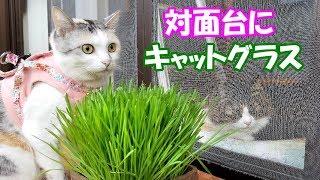 【猫の対面】大好きな猫草でちょっぴりストレスも軽減!? thumbnail