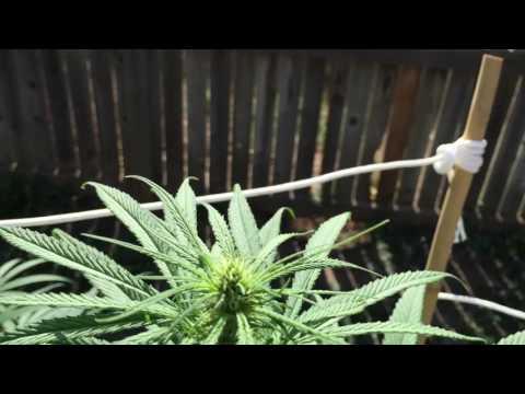 "Marijuana Grow Outdoors Denver Colorado ""crystals"""