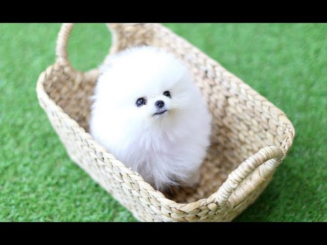 Micro Teacup Pomeranian Puppies And Dogs Youtube
