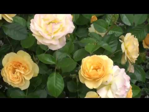 Предлагаем купить саженцы роз в широком разнообразии сортов,. Наш интернет магазин саженцев роз предлагает вам каждый день, без выходных.