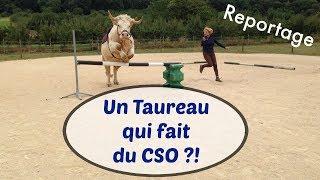 ➳ REPORTAGE : Découvre l'incroyable histoire d'Aston le Taureau qui fait du CSO et Sabine Rouas