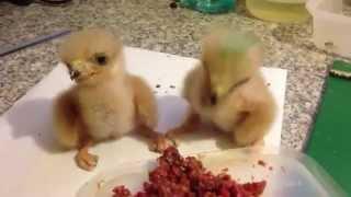 Funny breakfast of wild baby birds)))