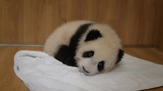 Abandoned baby panda - Operation Wild: Episode 1 Preview - BBC One