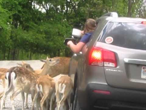 Safari In Va >> Deer Party Virginia Safari Park Lexington Va Youtube