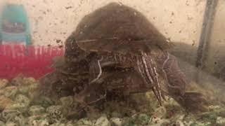 видео Размножение черепах в неволе