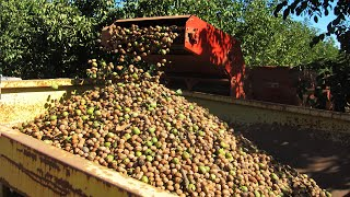 Walnut Farming And Harvesting - Walnut Cultivation Technology - Walnut Processing Factory