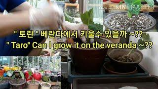 베란다 텃밭 토란 키우기 Growing taro on …