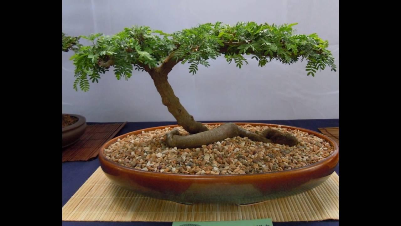 Acacia Tree Bonsai Youtube