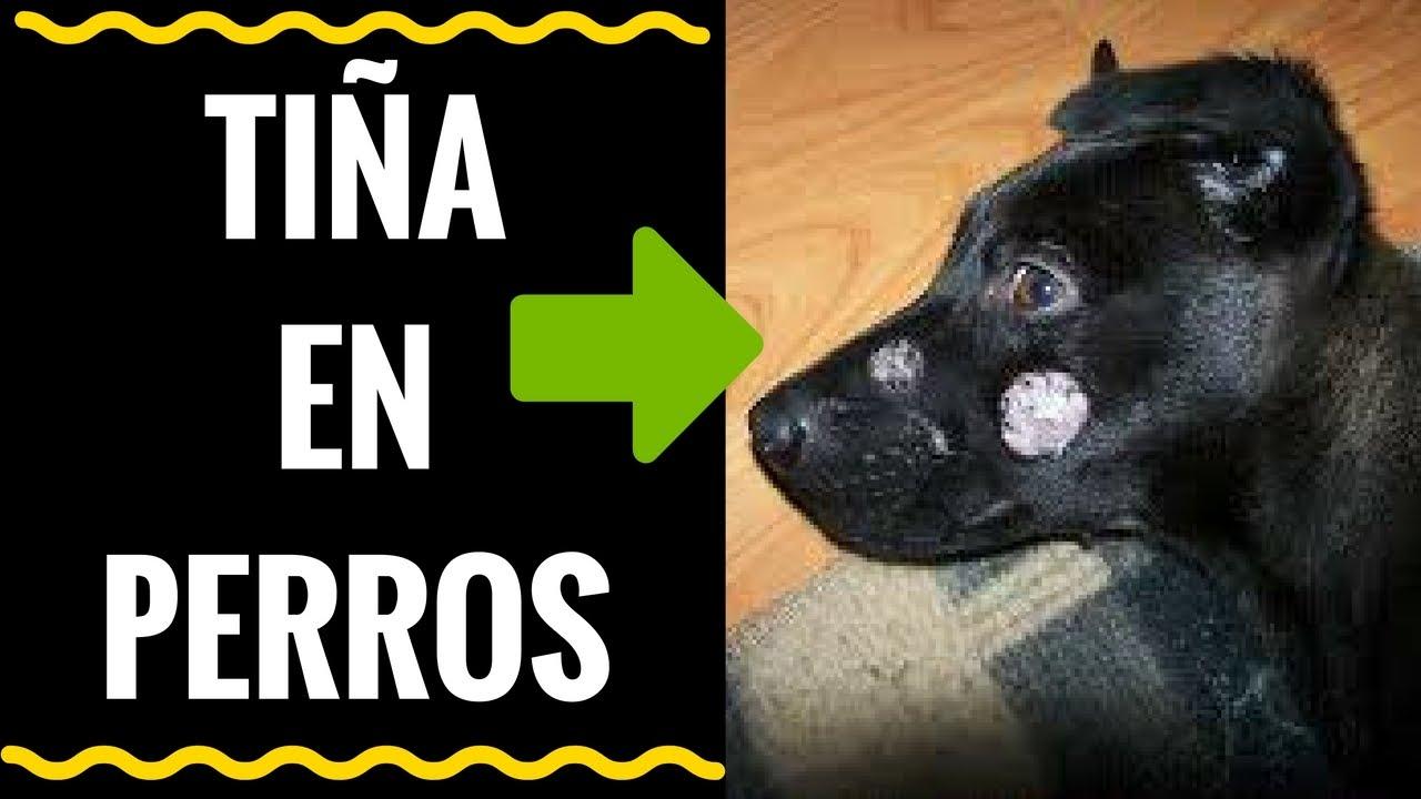 Tiña En Perros Hongos Que Afectan A Tu Perro Y A Tu Familia Youtube