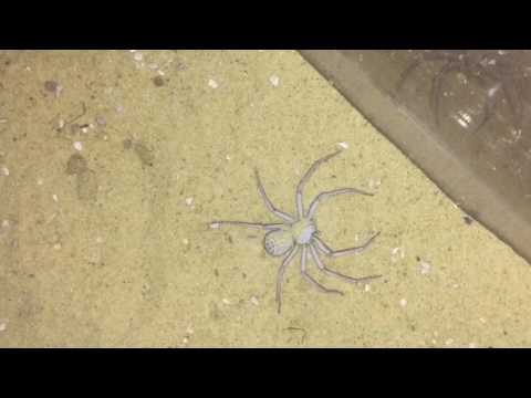 My Famous Sicarius Terrosus Six Eyed Sand Spider Feeding