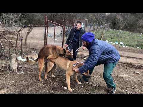 Tsetsi & Jelio's Dog Yarah Is Up For Matting! Заплождане и Чифтосване на Яра с Белгийска Овчарка!