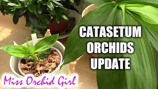 catasetum orchids update spring and summer care