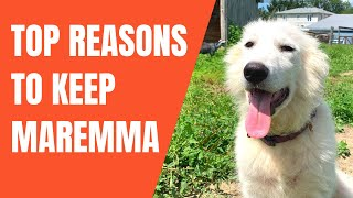 Top 5 Reasons Maremma Sheepdog Wins Over Other LGD | vs Great Pyrenees, Kangal, Anatolian Comparison
