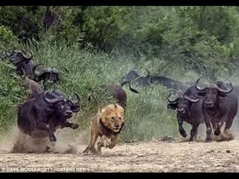 Dangerous Cape Buffalo (Black Death) - attacks & kills Lions