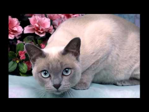 Photos of my cat breeds Tonkinese