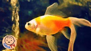 Cá Vàng Bơi | Nhạc Thiếu Nhi Sôi Động Cho Bé | HAHA TV