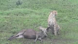 cheetah hunts and eats wildebeest