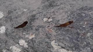 ミヤマカワトンボの雌雄 thumbnail