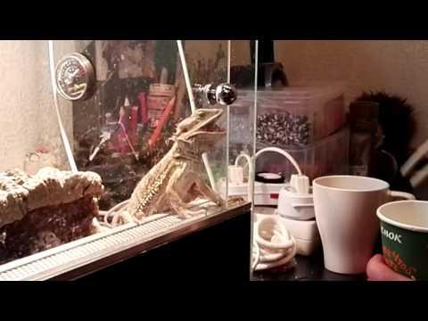видео: Как кормить бородатую агаму замороженными сверчкам