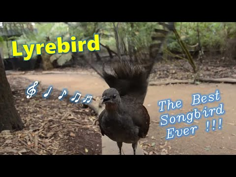 Lyrebird: The Best Songbird Ever!