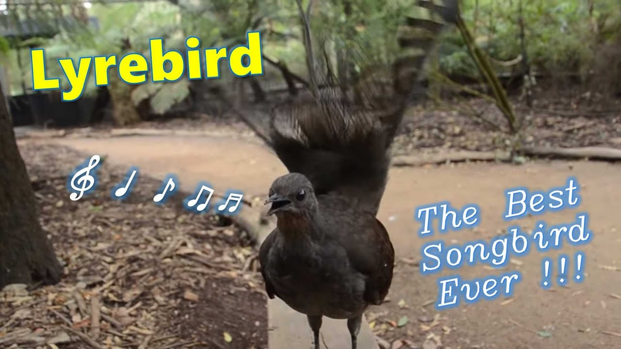 Lyrebird: The Best Songbird Ever!