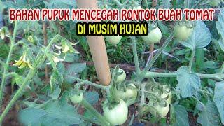 Download lagu Ini Bahan Pupuk Tomat Di Musim Hujan Agar Buah Tidak Rontok dan Busuk