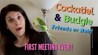 Parakeet / Budgie and Cockatiel Meet For the First Time | Can They Be Friends?