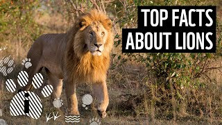 Top facts about lions | WWF