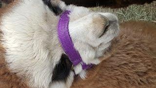 видео Шерсть альпака