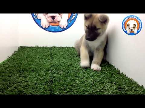 Venta De Perros Akita Americano En Cachorros Y Mas Cachorros
