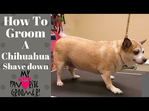 How to groom a Chihuahua Summer cut
