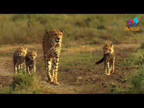 Wild Fauna / Гепард / Цена скорости /Часть-1