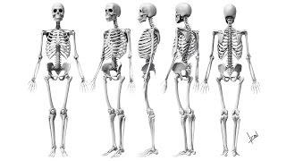 6.2 Опорно-двигательная - скелет (8 класс) - биология, подготовка к ЕГЭ и ОГЭ 2017