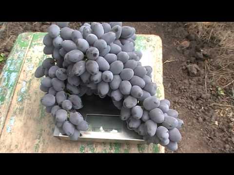 Урожайность винограда сорта Антрацит, он же Чарли (раньше думал, что это Кодрянка)