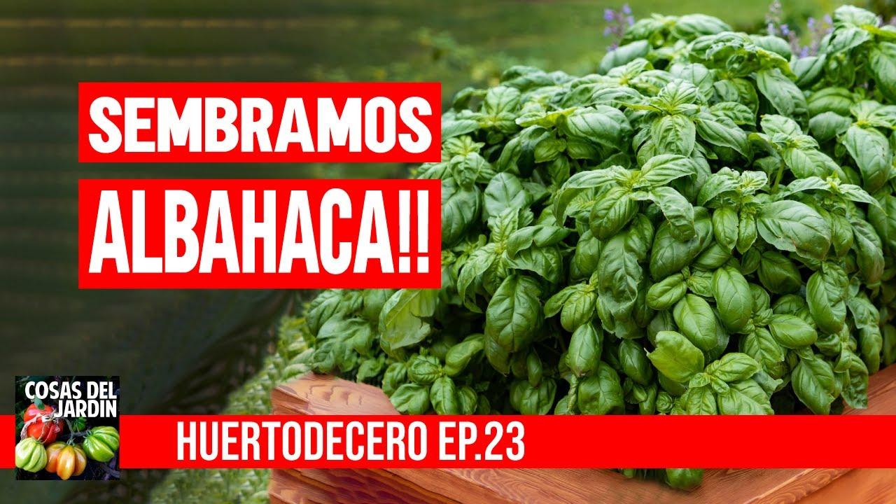 TE SIEMBRO ALBAHACA Y TE EXPLICO POR QUE SE TE PUDREN LOS CALABACINES #huertodecero Ep 23