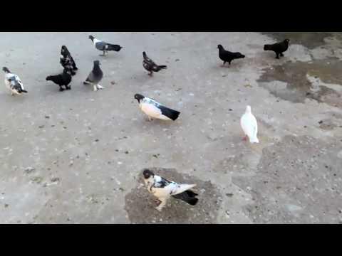Güvercin tanıtımı güvercin çeşitleri taklacı güvercin
