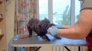 стриппинг щенка керн терьера