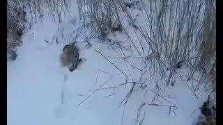 Охота на зайца  Зима, тропление. Hunting hare