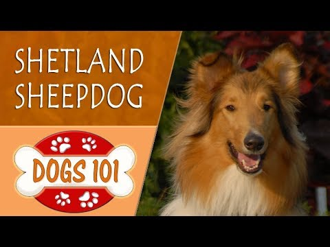 Dogs 101 - SHETLAND SHEEPDOG - Top Dog Facts About the SHETLAND SHEEPDOG