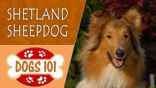 Dogs 101  SHETLAND SHEEPDOG  Top Dog Facts About the SHETLAND SHEEPDOG