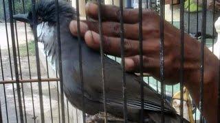 Burung Poksay SUPER MANTAP