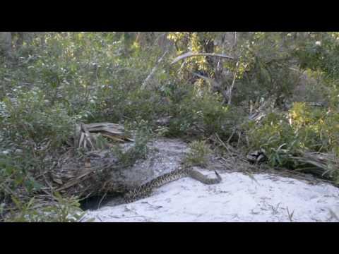 Eastern Diamondback Rattlesnake sliding down a Tortoise burrow
