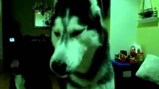 Говорящий пес породы хаски знает много слов