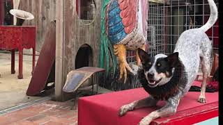 Zion at Canine Circus School ( Australian Cattle Dog  Training Rescue )